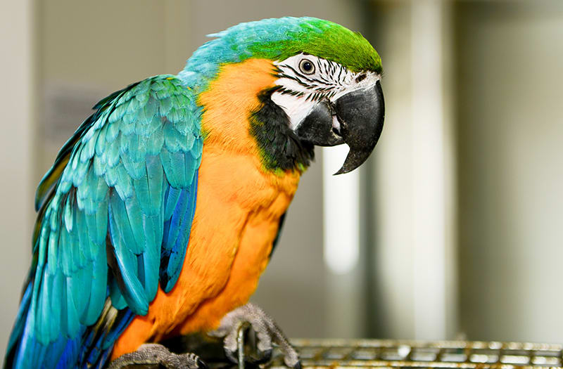 cheap talking birds